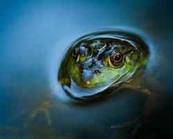 sapo-boi parcialmente submerso foto