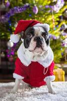 buldogue francês, vestido com fantasia de Papai Noel