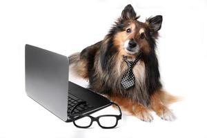 cão sheltie no escritório foto