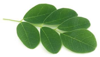 folhas de moringa foto