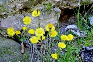 tosse, planta medicinal foto