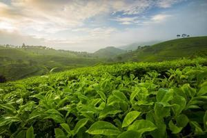 belo padrão de campo de chá na Indonésia de manhã foto