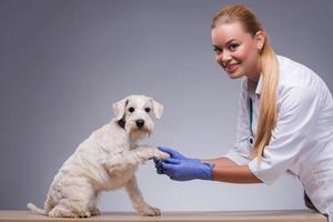 o cão pequeno bonito visita o veterinário foto