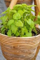 bálsamo, planta medicinal foto