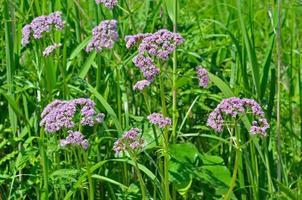 valeriana de ervas medicinais foto