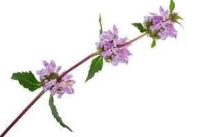 planta medicinal: phlomoides tuberosa foto