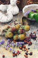 colheita de ervas medicinais foto
