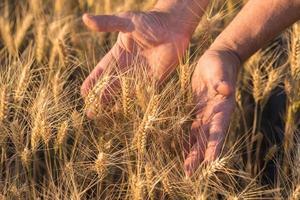 espigas de trigo dourado maduros na mão foto