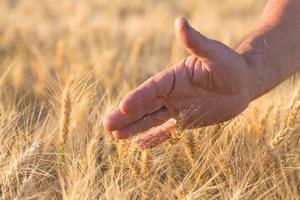espigas de trigo dourado maduras foto