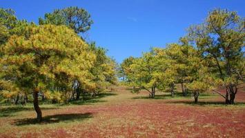 viagens ecologia, grama, selva de pinheiros foto