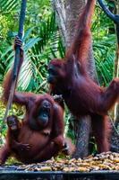 dois orang utan pendurado em uma árvore na selva foto