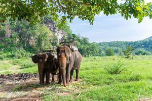 elephas maximus indicus cuvier para levar para a trilha na selva turística foto