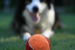 bola de tênis vermelha e laranja com um cachorro esperando foto