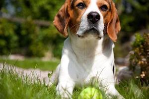 beagle com bola de tênis foto