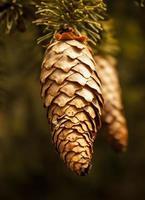 cones de abeto foto