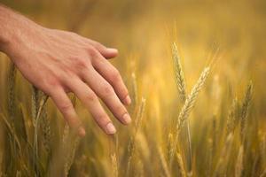 jovem agricultor em campo tocando suas espigas de trigo