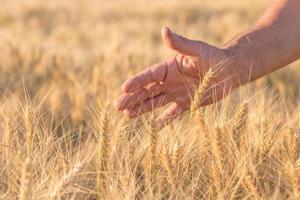 espigas de trigo dourado maduros na mão