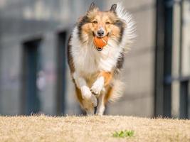 cachorro, executando o cão pastor de shetland com bola na boca foto