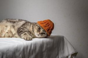 gato cinzento dobra escocesa com um chapéu de inverno laranja engraçado