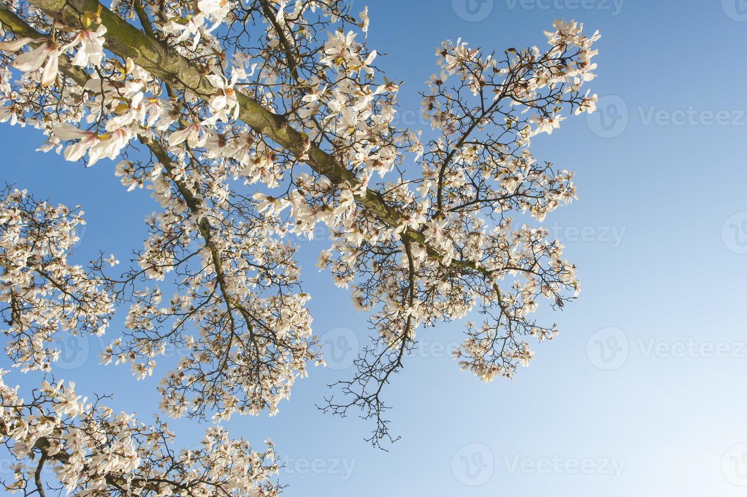 schöne Magnolienblüten im Frühling foto