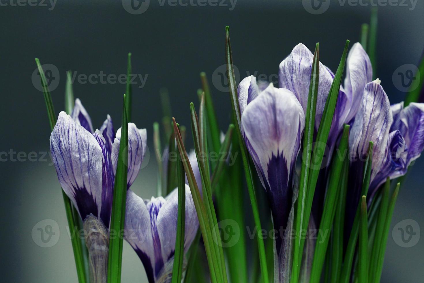 blaue Krokusblüten Frühling foto
