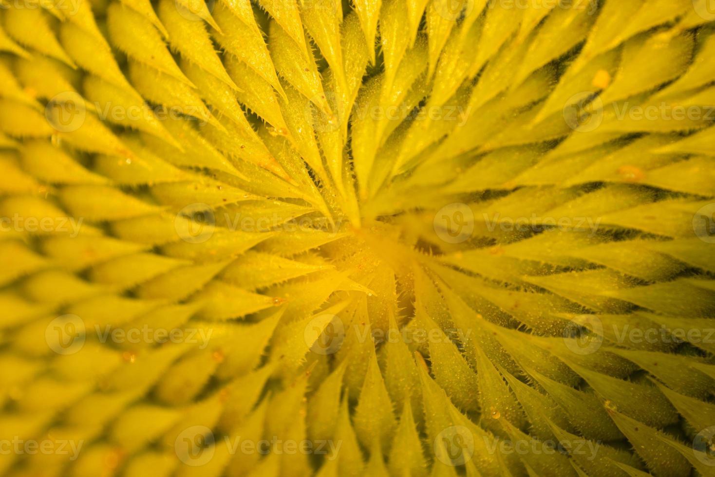 Makro Sonnenblumen foto