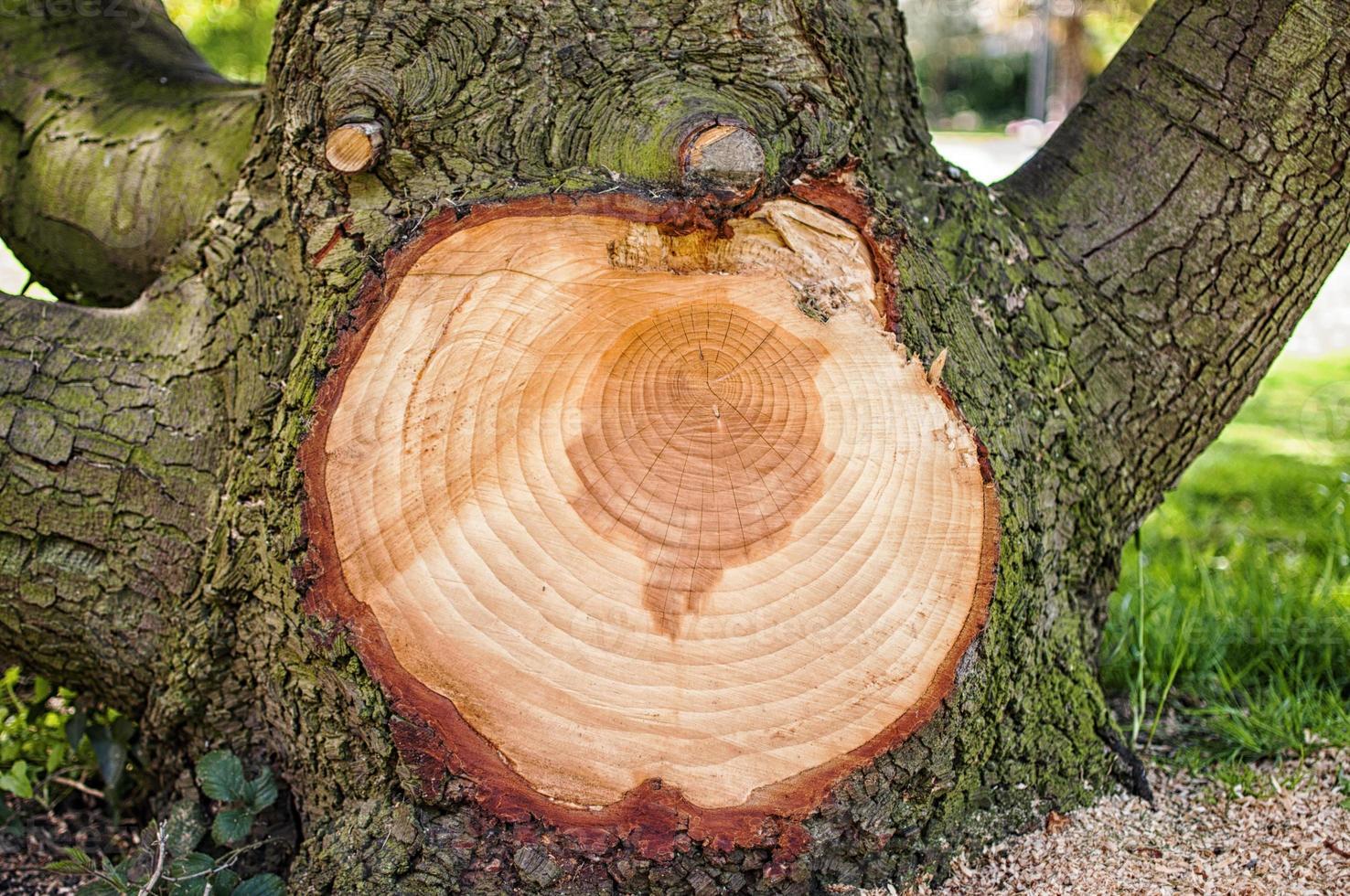 großer Ast von einem Baum geschnitten, der konzentrische Ringe zeigt foto