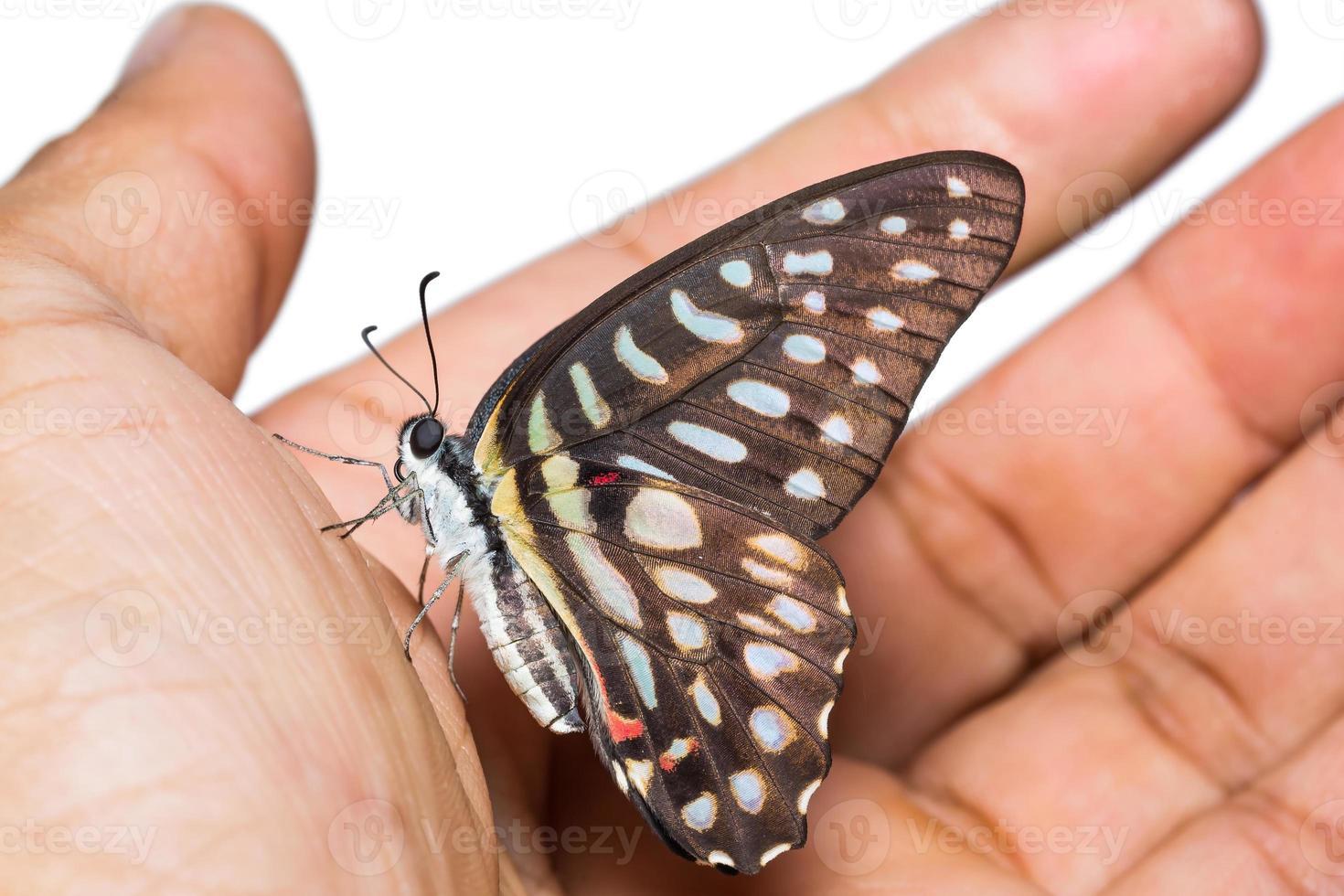gefleckter Jay-Schmetterling foto