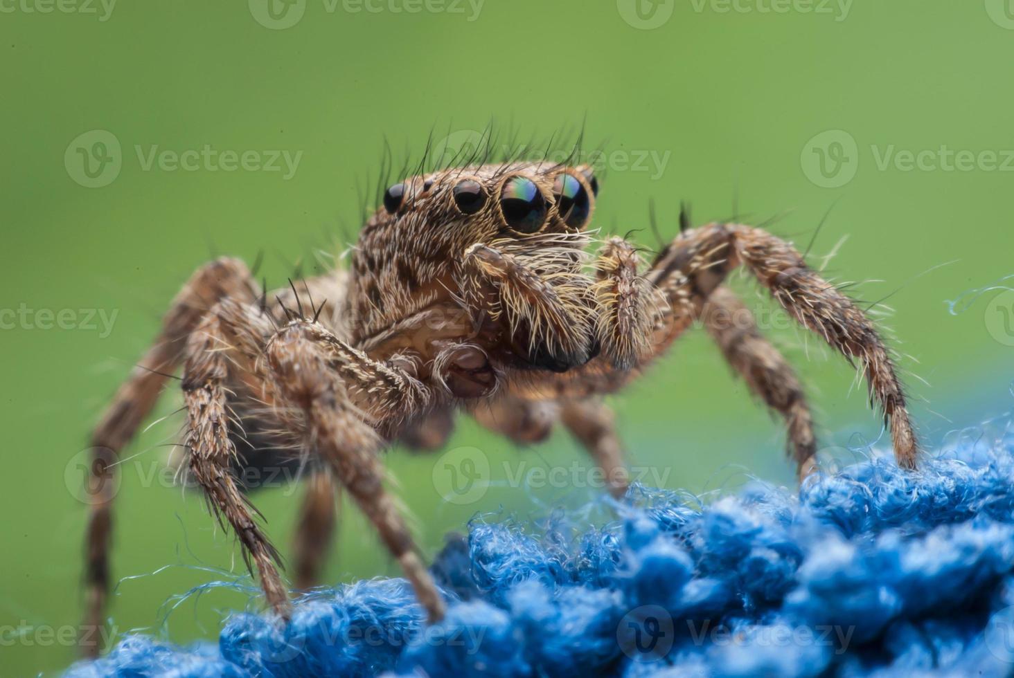 springende Spinne foto