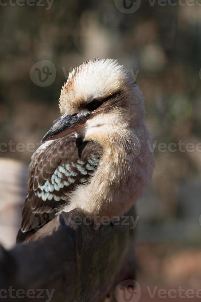 Kookabura sitzt auf einem Ast foto