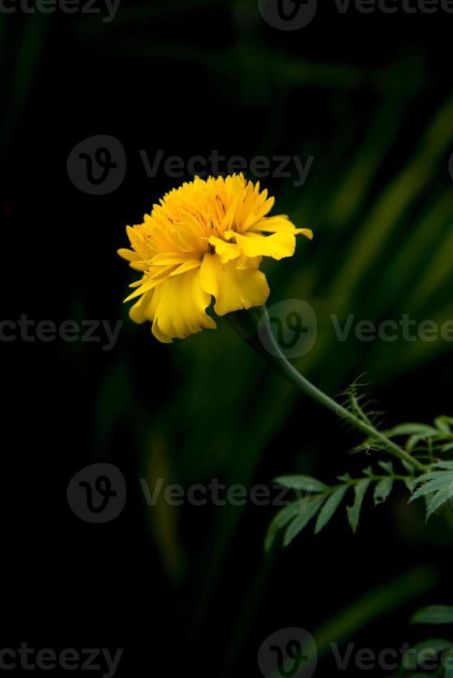 Ringelblumenblume foto