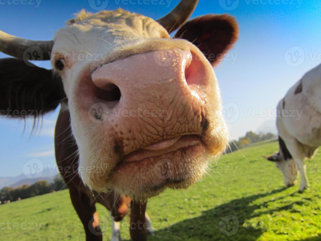 Kuh auf der Weide foto