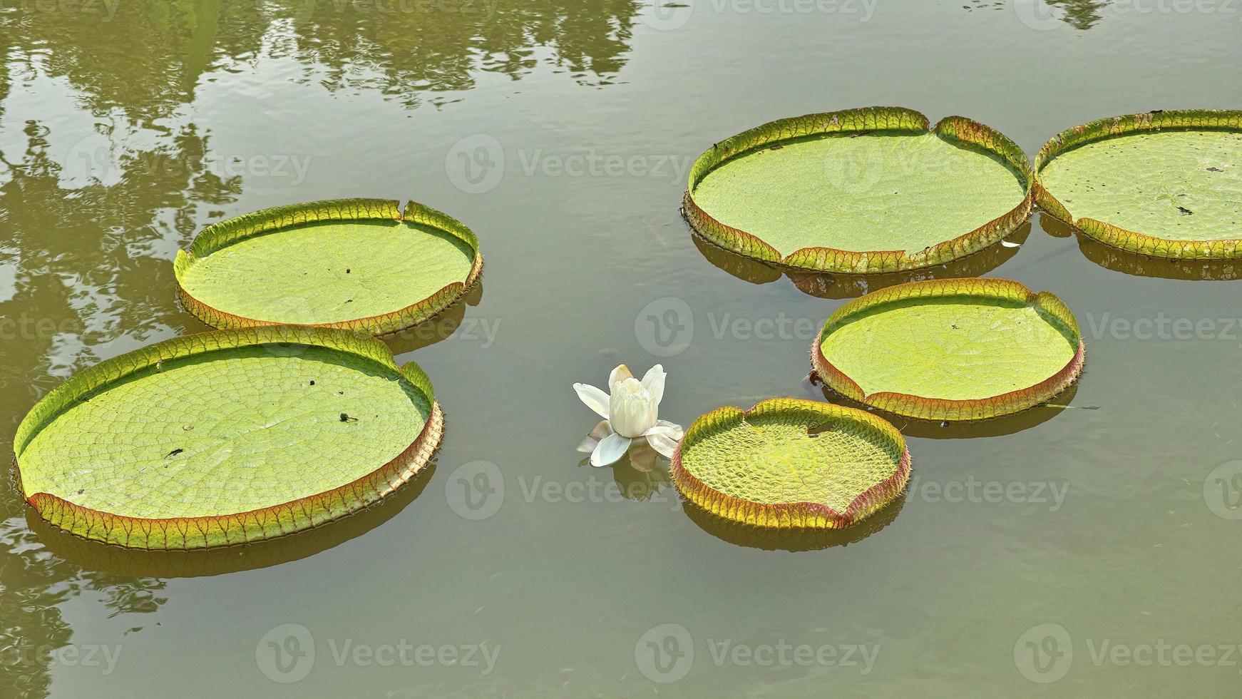 Blatt einer Victoria Amazonica oder Victoria Regia foto