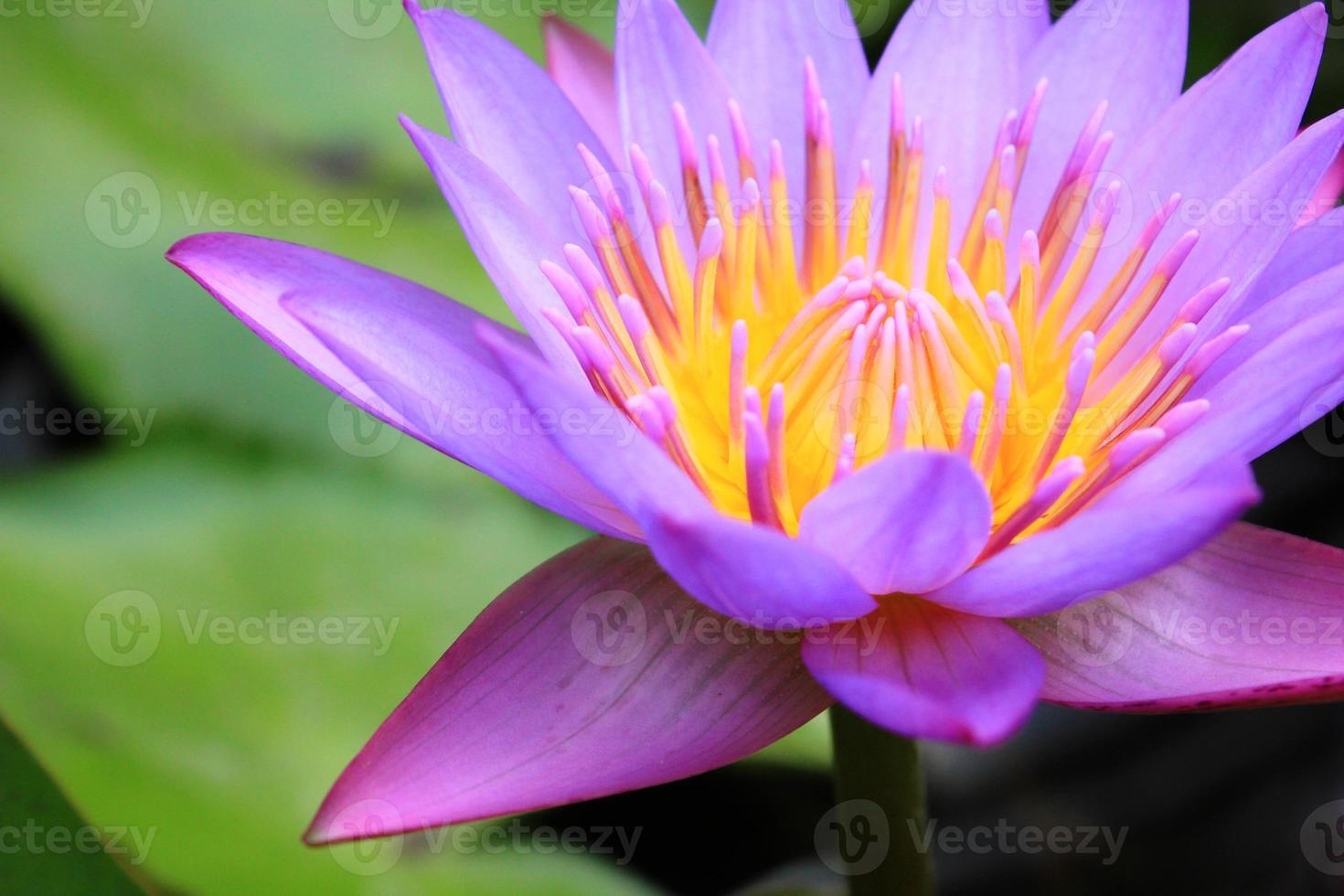 schöne Lotusblume foto