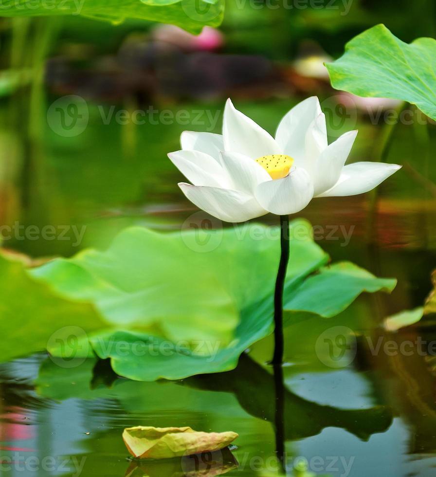 Lotusblütenblüte foto