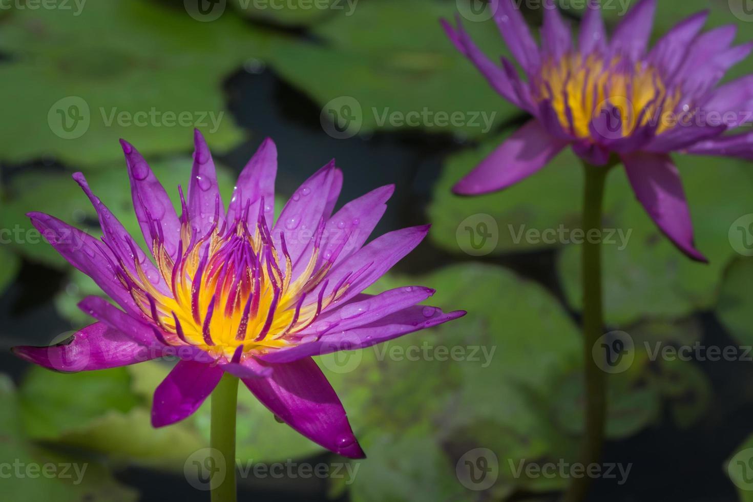 lila Seerose foto