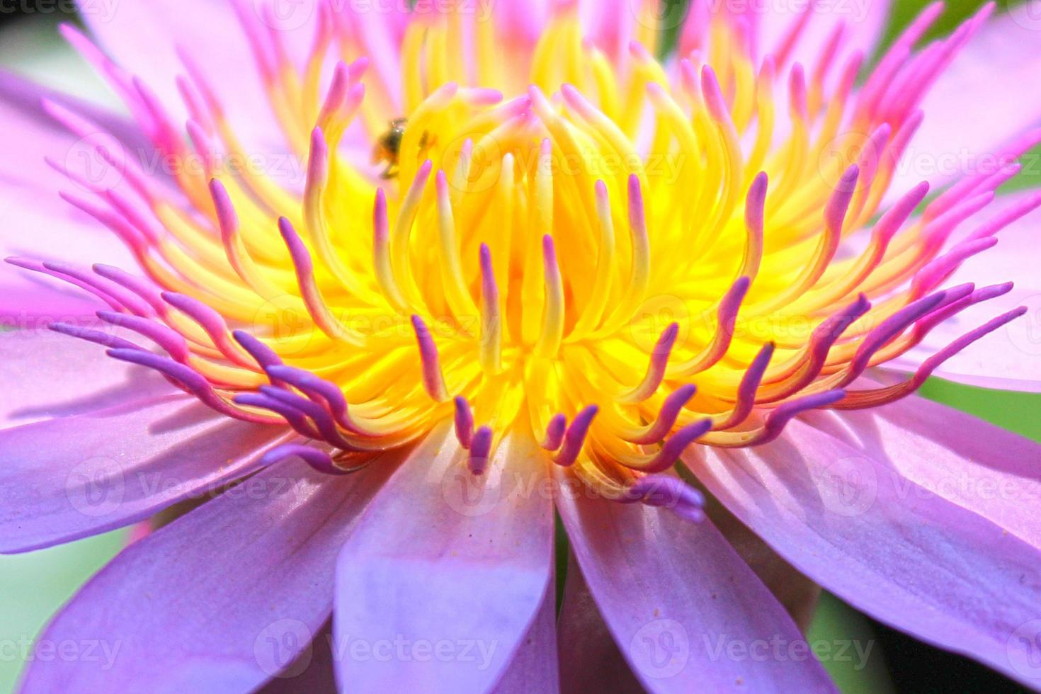 Nahaufnahme Pollen Lotusblume. foto