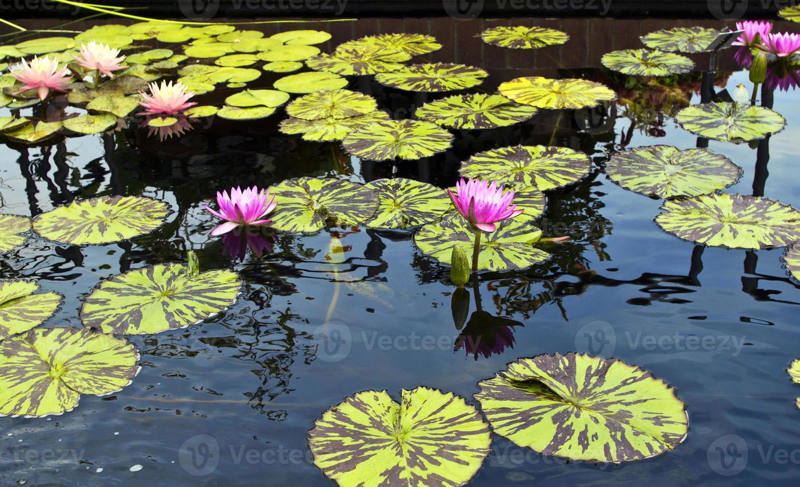 Wasserlilien foto