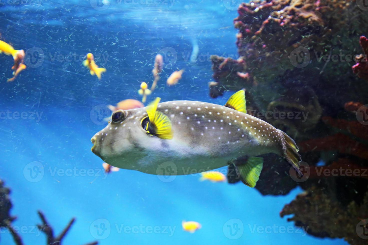 Kugelfisch foto
