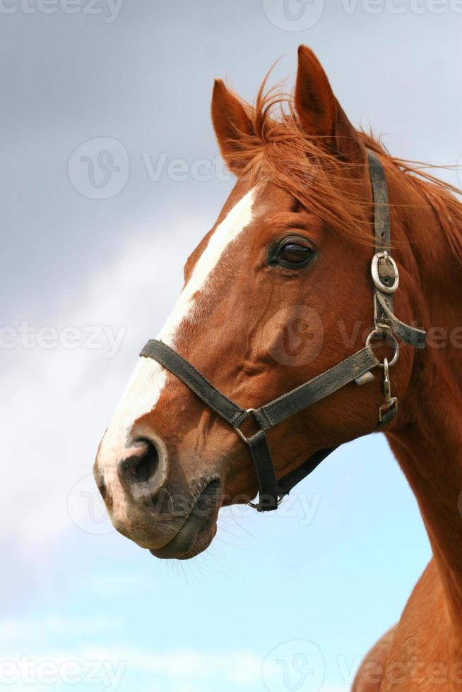 Kopfschuss eines schönen braunen Pferdes foto