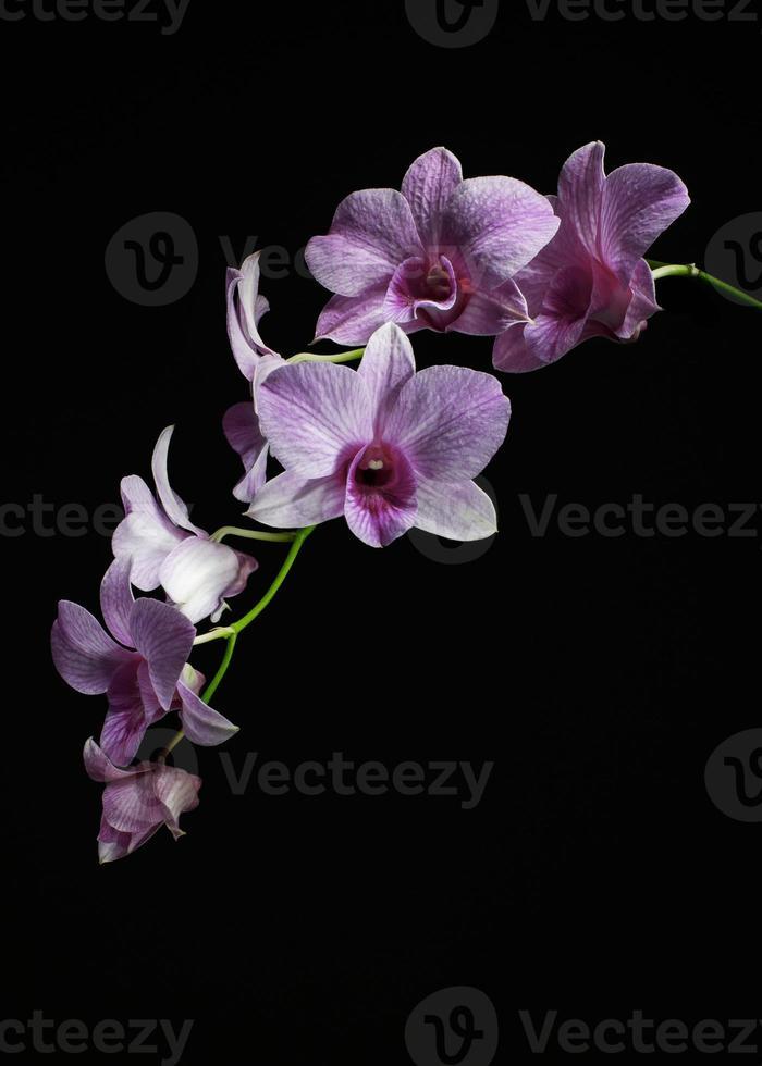 Orchideenstamm mit schwarzem Hintergrund foto