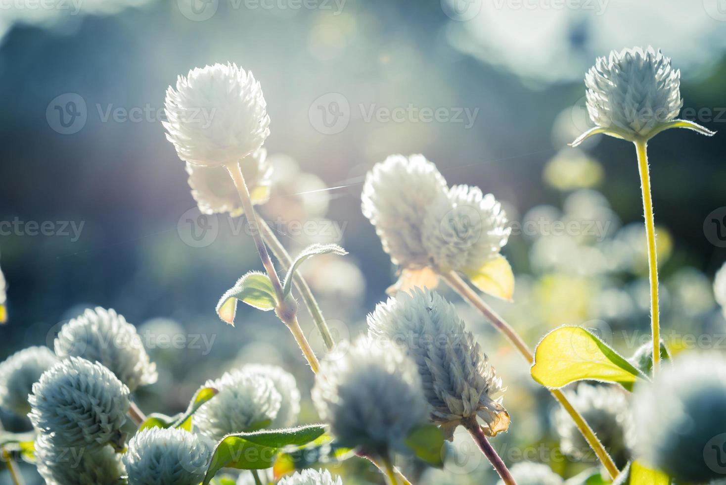 weiße Amaranthblume in der Natur foto