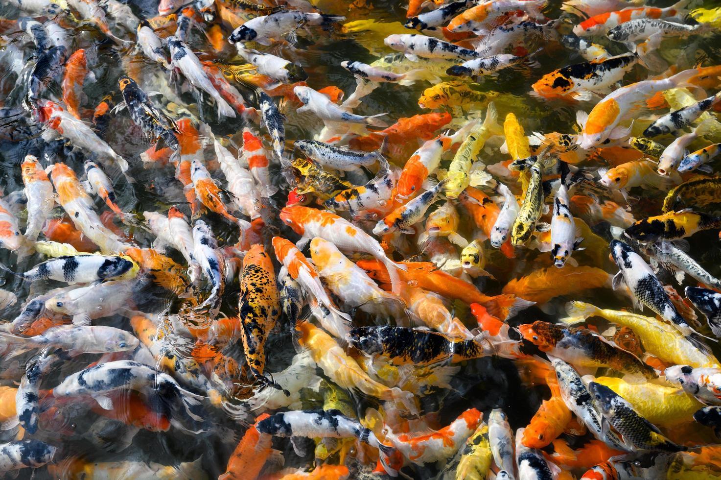 Koi-Fische, die in einem Teich schwimmen foto