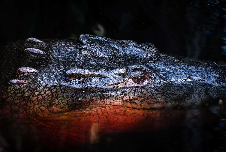 unter verschmolzener Krokodilkopf über dunklem Wasser foto