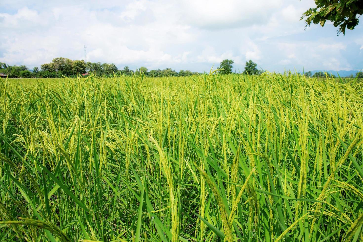 eine wachsende Reisfeldansicht am bewölkten warmen Tag in Thailand foto