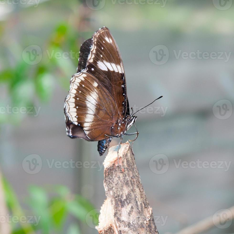 weißer Admiral (Limenitis camilla), brauner Schmetterling foto