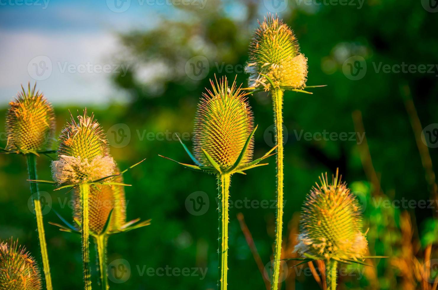 stachelige lila Pflanze auf der grünen Wiese foto