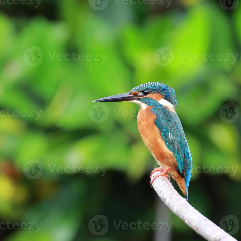schöner blauer Eisvogelvogel auf einem Zweig foto