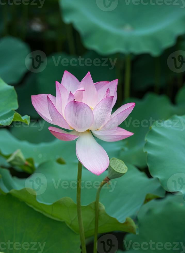 blühende Lotusblume foto