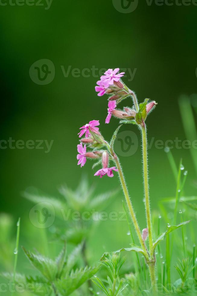 rotes Campion Silene Dioica foto